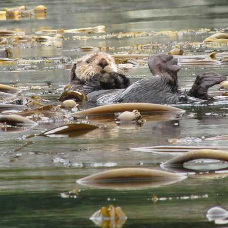 Sea otter lounging on a bed of kelp