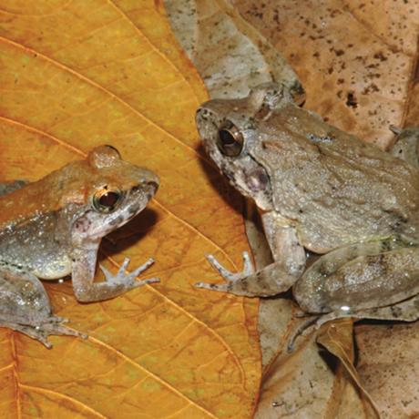 The newly described fanged frog Limnonectes larvaepartus