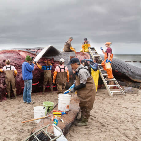 A team of researchers conducts a necropsy on a whale carcass that has washed up on a beach