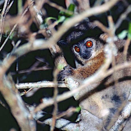 Photo of sportive lemur