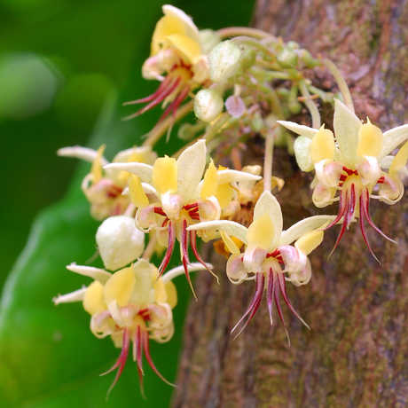 Cacao flower