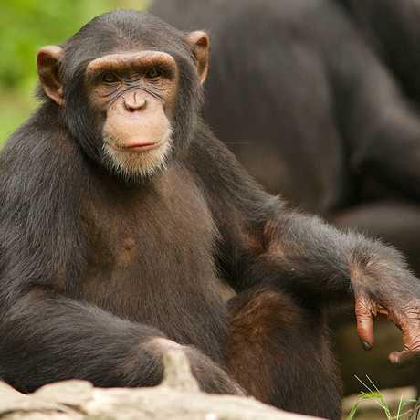 A chimpanzee looks at the camera