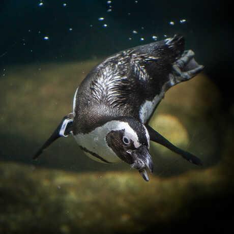 African penguin swimming