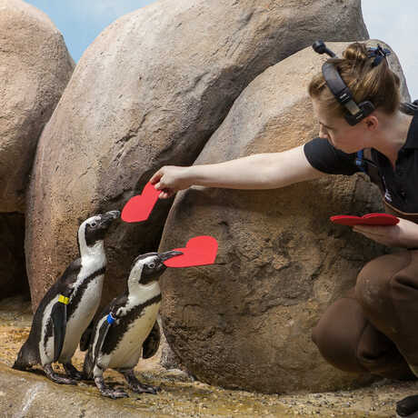 An Academy biologist hands out felt valentines to eager African penguins