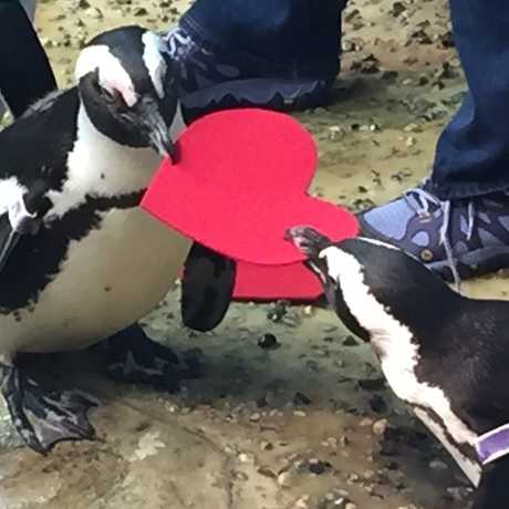 Two African Penguins holding heart valentines