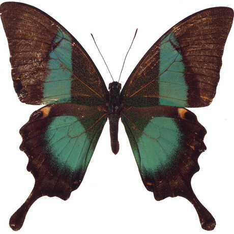 Teal and brown butterfly
