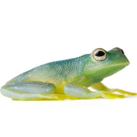 Grainy Cochran Frog