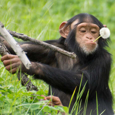 Chimpanzee with dandelion in mouth
