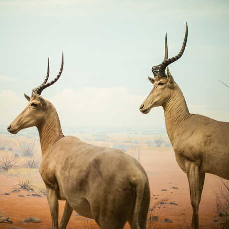Two graceful African antelope stand in a colorful diorama.