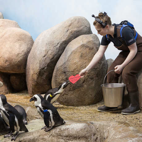 Biologist giving a valentine treat to an African penguin
