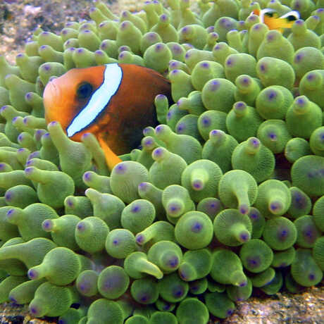 Clownfish hiding in anemone