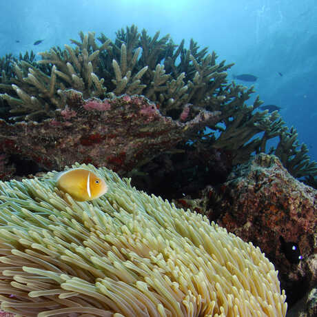 Vibrant coral reef with anemone and coral reef