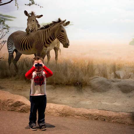 Boy looking at camera through binoculars in front of zebra diorama
