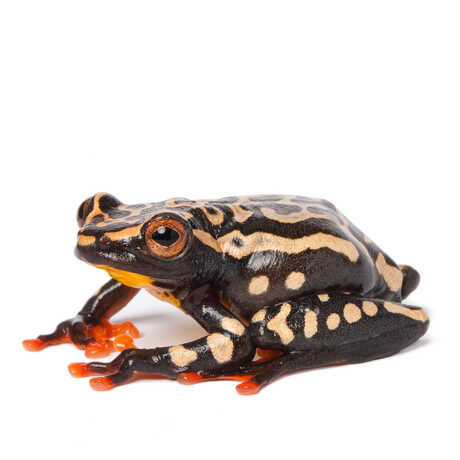 Riggenbach's reed frog