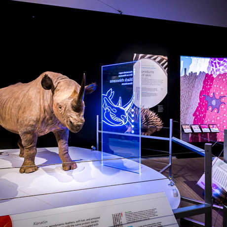 Exhibit shot of black rhino specimen and video projection of skin cells