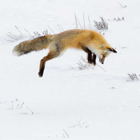 A fox in midair leaping into the snow