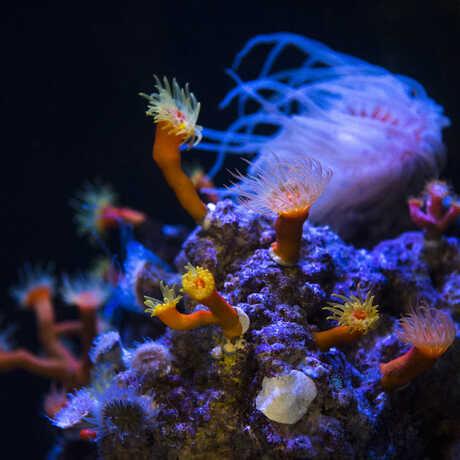 Twilight zone corals fluoresce under UV light