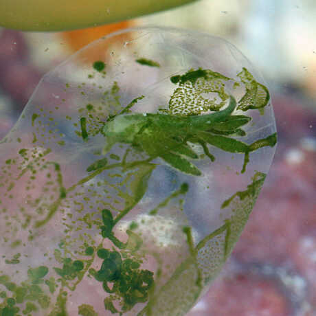 Ercolania kencolesi, a sea slug living inside an algae; Zanzibar