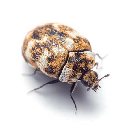 carpet beetle california academy of sciences