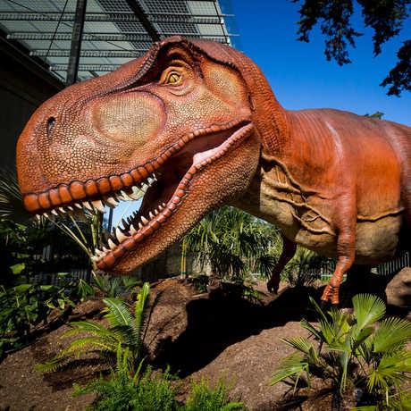 A life-size animatronic Tyrannosaurus rex in the Academy's Dino Days exhibit