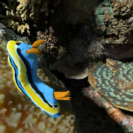 a brightly-colored nudibranch crawls on a sponge