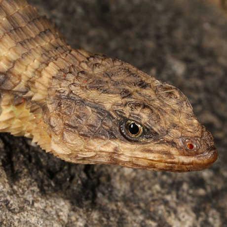 New African lizard
