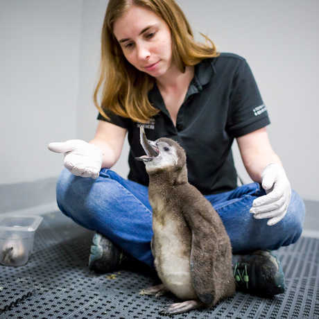 African penguin chick Stanlee eats herring as biologist Amy Walters looks on.