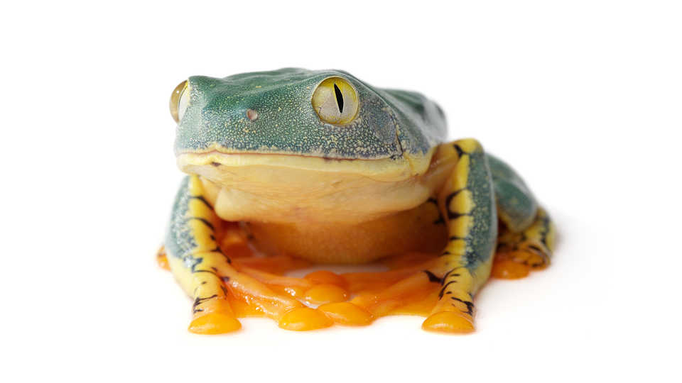 Green and orange frog