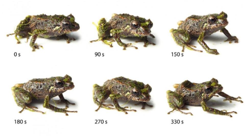 Shape shifting frog