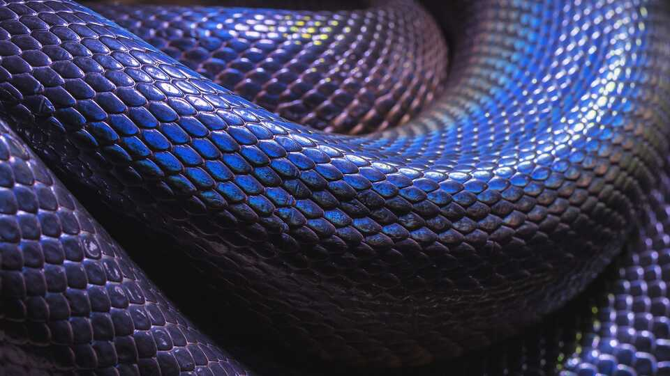 Close-up of purple iridescent snake scales