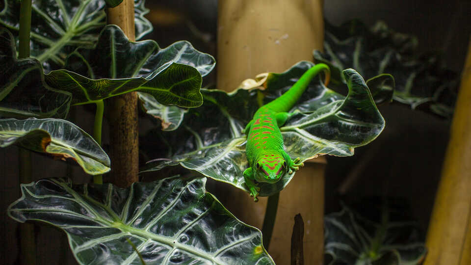 Green and red day gecko on a leaf in the Academy rainforest