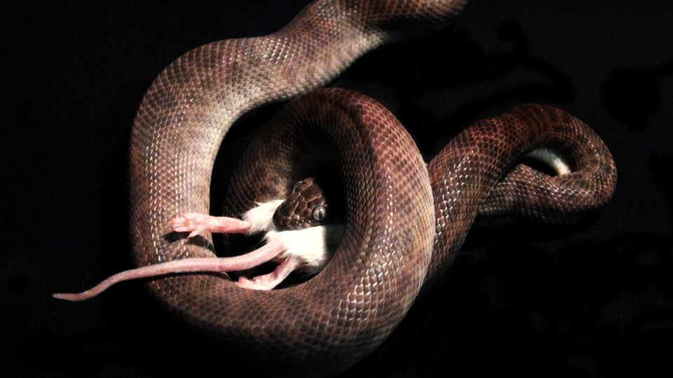 A snake eating a white mouse