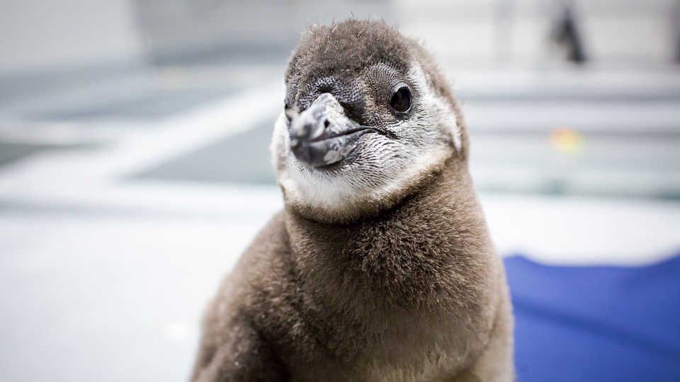 African penguin chick