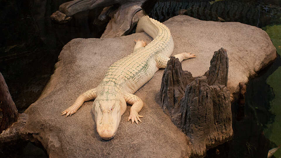 Claude the alligator with albinism rests on his rock in the Academy's Swamp habitat