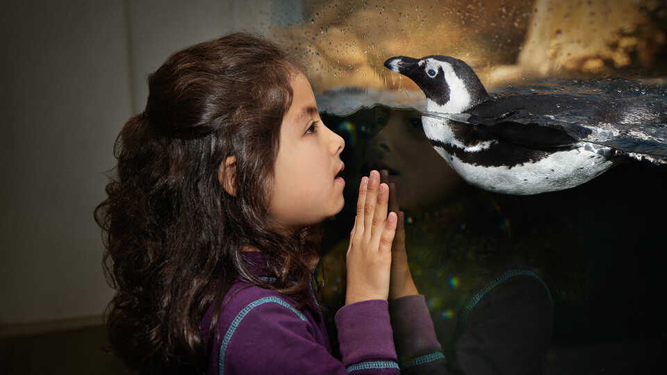 A young girl interacts through the glass with an African penguin in Tusher African Hall.